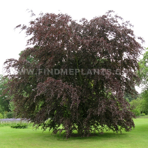 Big Photo of Fagus  Sylvatica