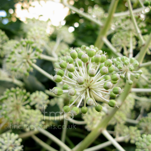 Big Photo of Fatsia Japonica, Flower Close-up