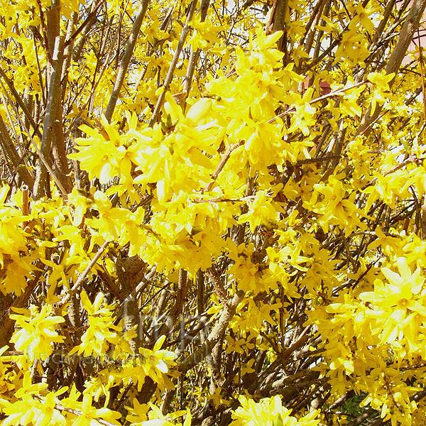 forsythia x intermedia golden bell information pictures cultivation tips. Black Bedroom Furniture Sets. Home Design Ideas