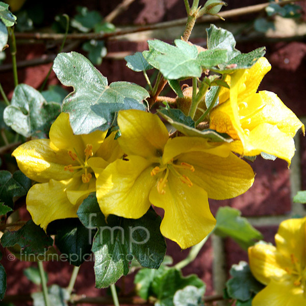 Big Photo of Fremontodendron California Glory