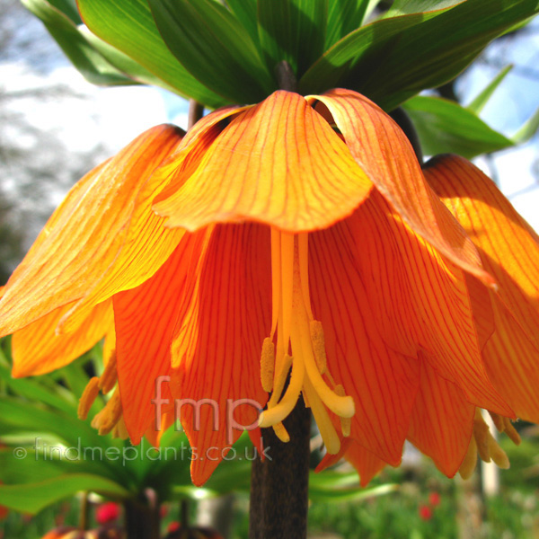 Big Photo of Fritillaria Imperialis, Flower Close-up