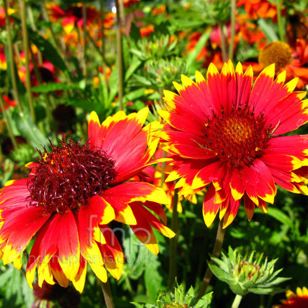 Big Photo of Gaillardia , Flower Close-up