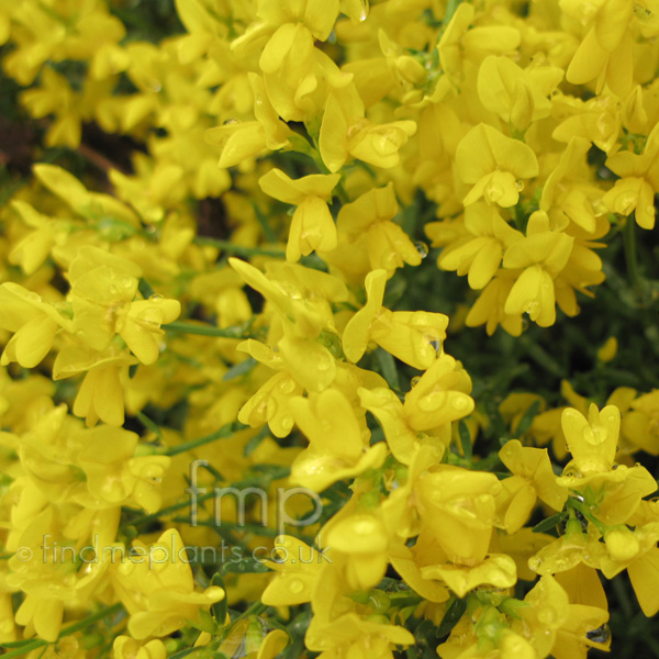 Big Photo of Genista Lydia, Flower Close-up