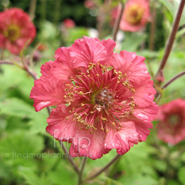 Big Photo of Geum , Flower Close-up