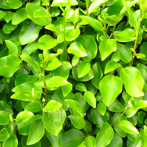 Big Photo of Griselinia Littoralis