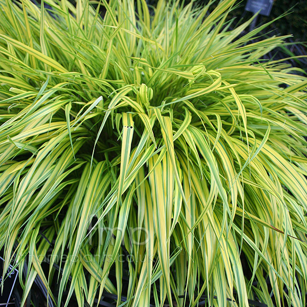 Big Photo of Hakonechloa Macra