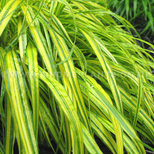 Big Photo of Hakonechloa Macra, Leaf Close-up
