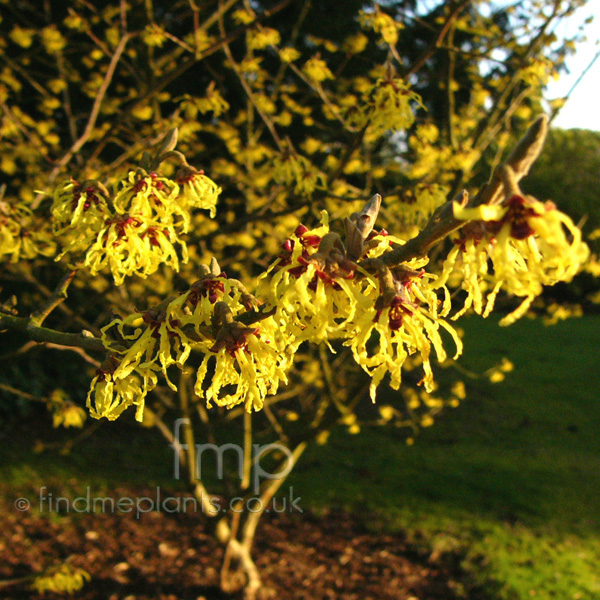 Big Photo of Hamamelis Mollis