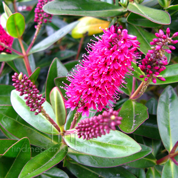 A Big Photo of Hebe Speciosa, Flower Close-up from ...