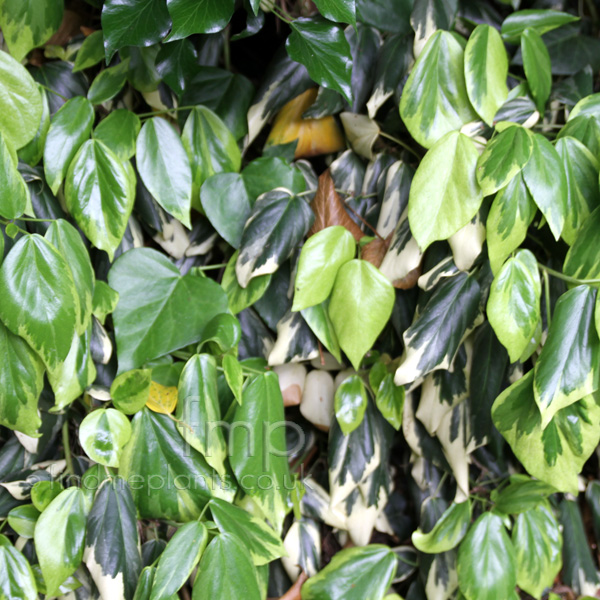 Big Photo of Hedera Colchica