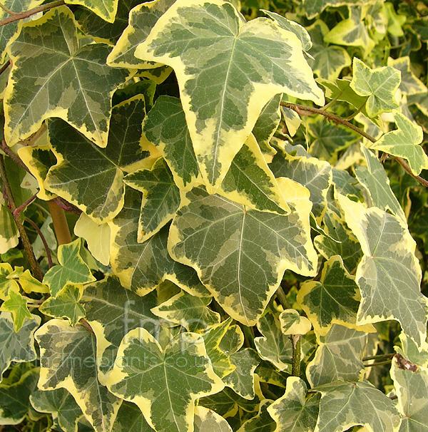 Hedera Helix Varieties