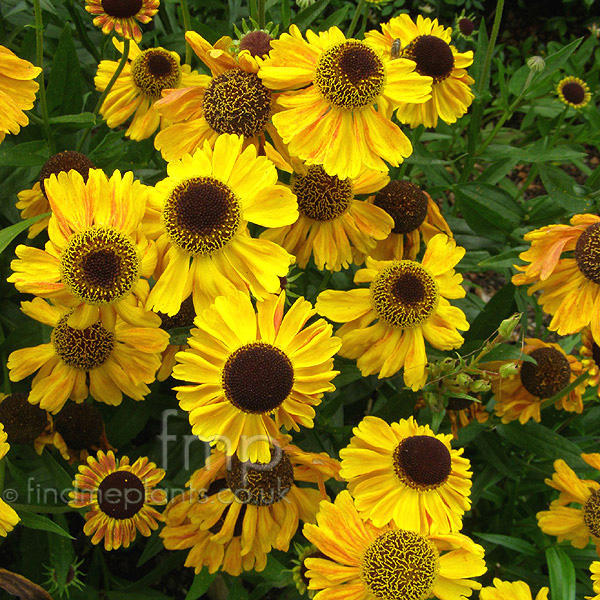 Big Photo of Helenium Autumnale