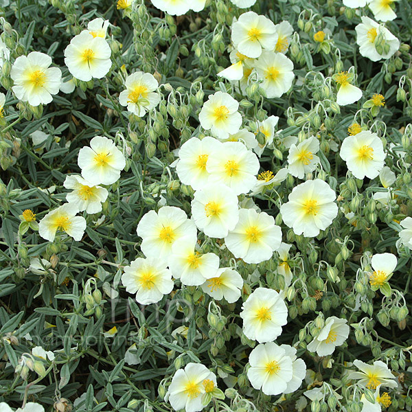 Big Photo of Helianthemum The Bride