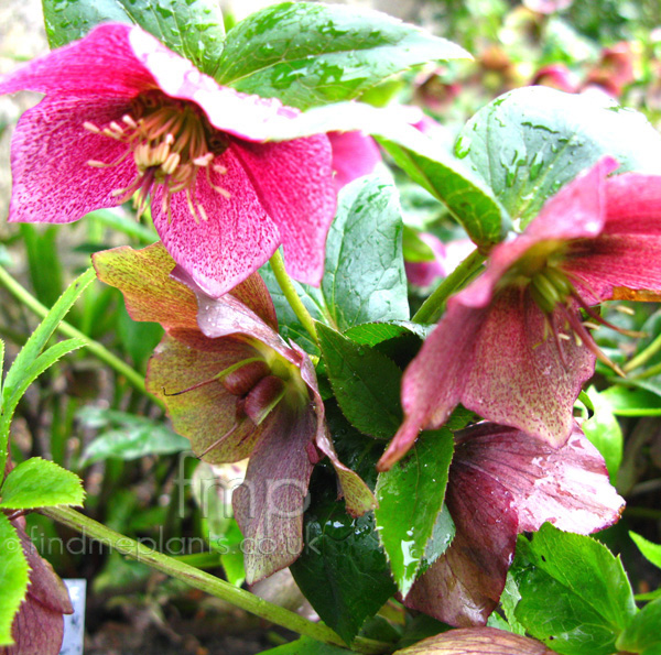 helleborus orientalis 39 red lady 39 helleborus orientalis hybrid hellebore information. Black Bedroom Furniture Sets. Home Design Ideas