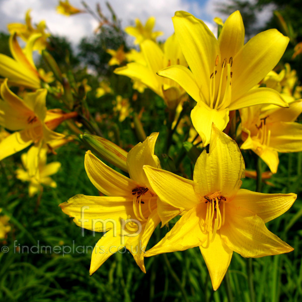 Big Photo of Hemerocallis Dumortieri, Flower Close-up