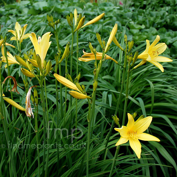 Big Photo of Hemerocallis Lilio-Asphodelus