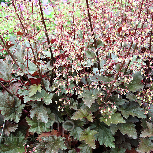 Heuchera 39 chocolate ruffles 39 information pictures cultivation tips - Flowers planted may complete garden ...