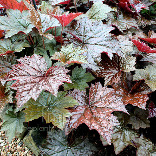 a big photo of heuchera micrantha from findmeplants. Black Bedroom Furniture Sets. Home Design Ideas