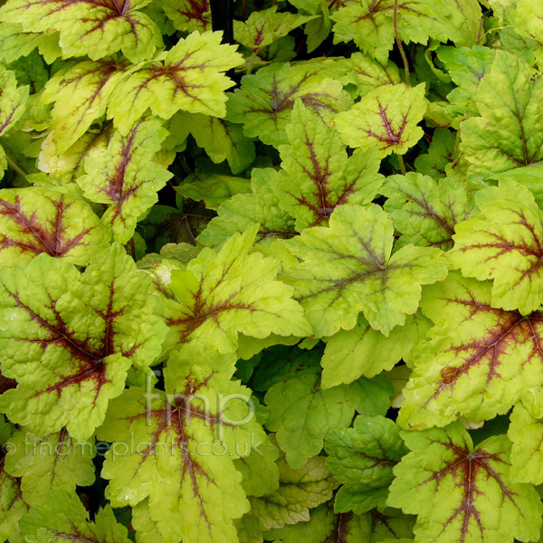 Big Photo of Heuchera
