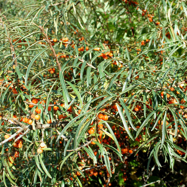 Hippophae ramnoides sea buckthorn hippophae information pictures cultivation tips - Growing sea buckthorn ...