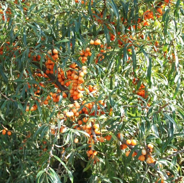 Big Photo of Hippophae Ramnoides