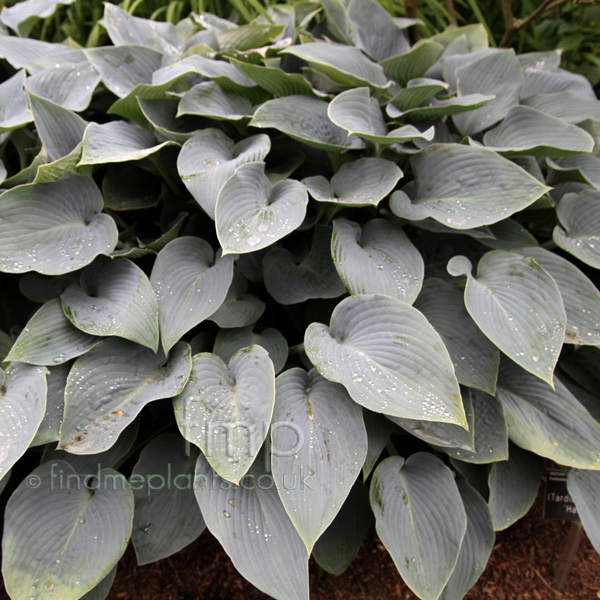Big Photo of Hosta Halcyon