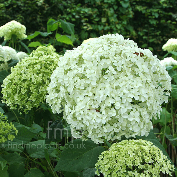 a big photo of hydrangea arborescens from findmeplants. Black Bedroom Furniture Sets. Home Design Ideas