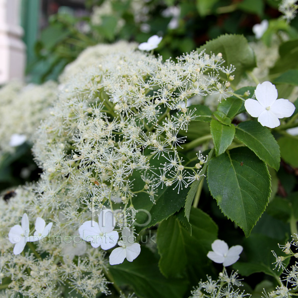 hydrangea petiolaris climbing hydrangea information. Black Bedroom Furniture Sets. Home Design Ideas