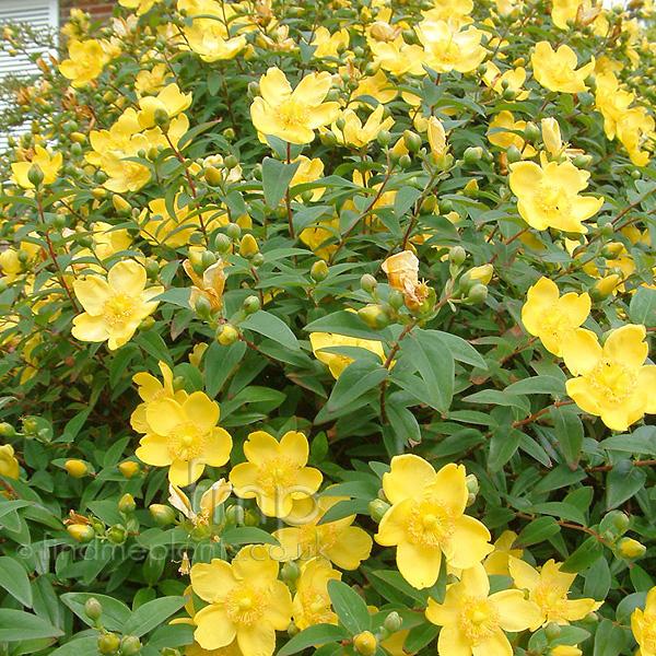 Hypericum calycinum (Rose Of Sharon): Information ...