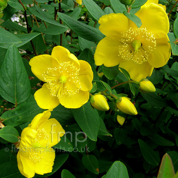 Big Photo of Hypericum Forrestii