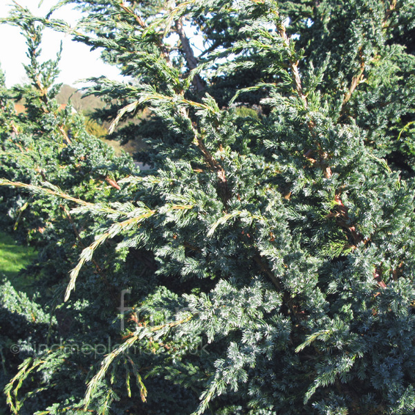 Big Photo of Juniperus Squamata