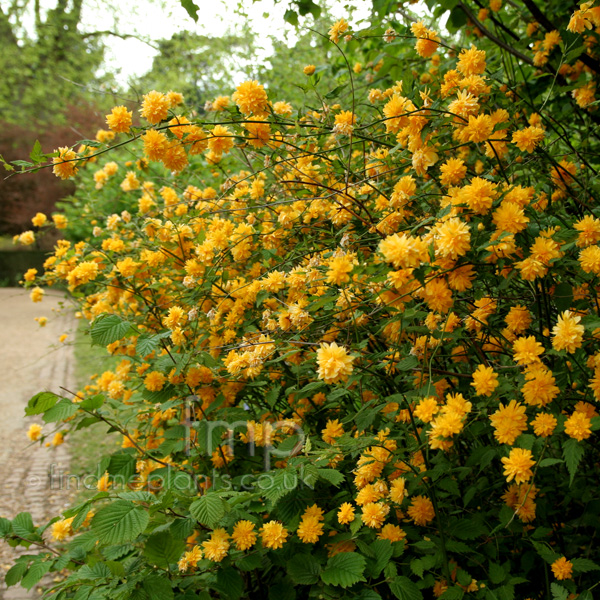 A big photo of kerria japonica from findmeplants for Kerria japonica