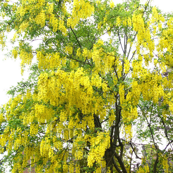 Big Photo of Laburnum X Watereri, Flower Close-up