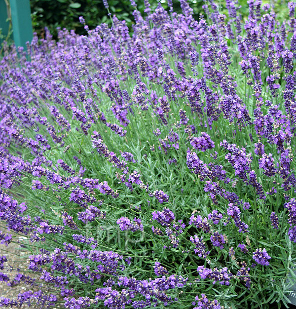 lavandula angustifolia 39 imperial gem 39 lavender information pictures cultivation tips. Black Bedroom Furniture Sets. Home Design Ideas