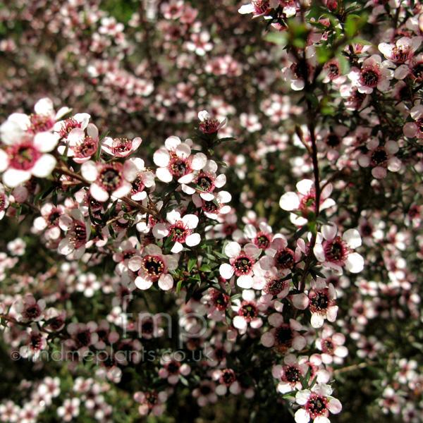 Leptospermum Scoparium Kea Tea Tree Manuka