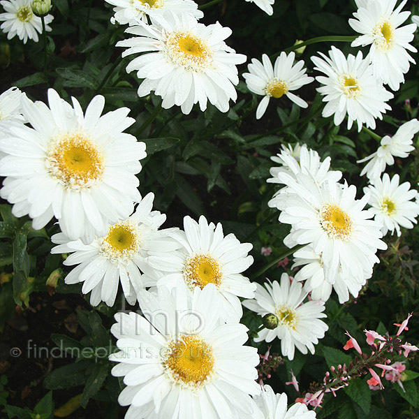 Big Photo of Leucanthemum