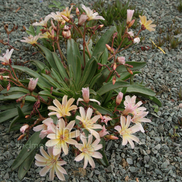 Big Photo of Lewisia