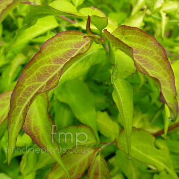 Big Photo of Leycesteria Formosa, Leaf Close-up