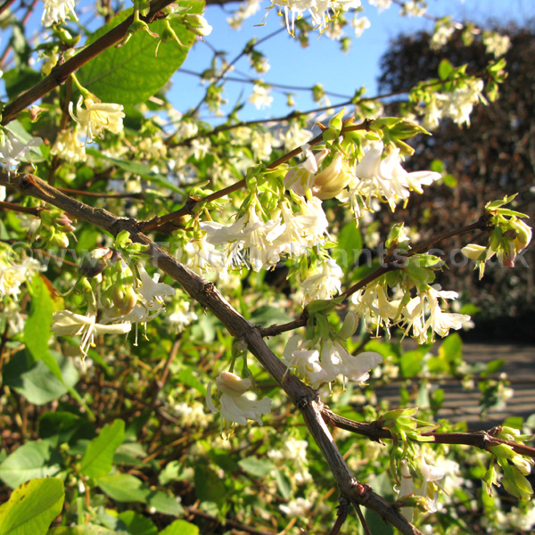 Lonicera X Purpusii Information Pictures Amp Cultivation Tips