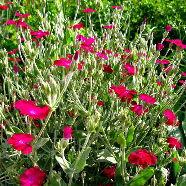 Big Photo of Lychnis Coronaria
