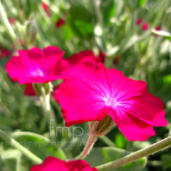 Big Photo of Lychnis Coronaria, Flower Close-up