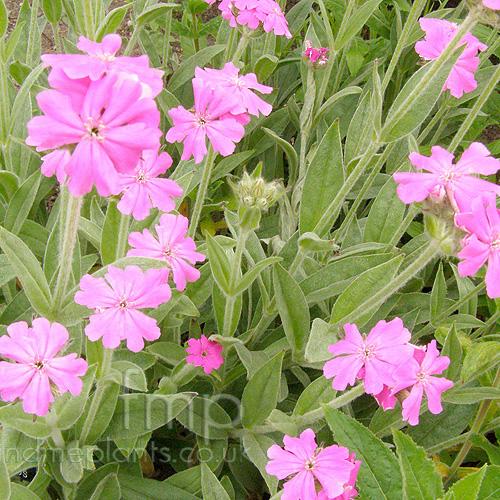 Lychnis Flos Jovis Jobs Flower Information Pictures