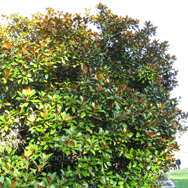 Big Photo of Magnolia Grandiflora