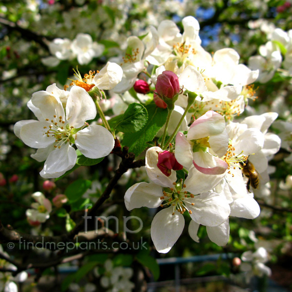 Big Photo of Malus , Flower Close-up