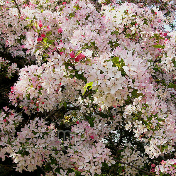 floribunda crabapple - photo #10