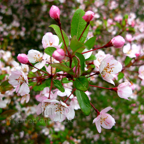 Big Photo of Malus Hupehensis, Flower Close-up