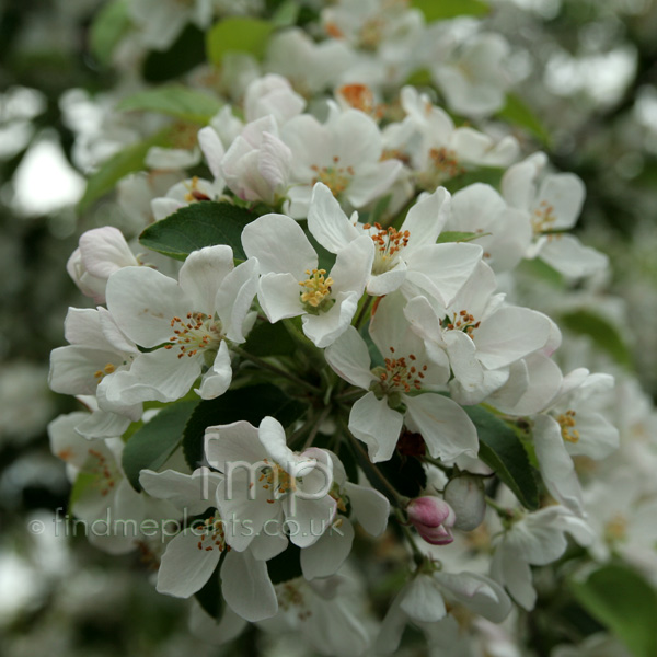 Big Photo of Malus Robusta, Flower Close-up