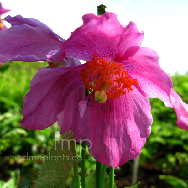 Big Photo of Meconopsis Betonicifolia, Flower Close-up