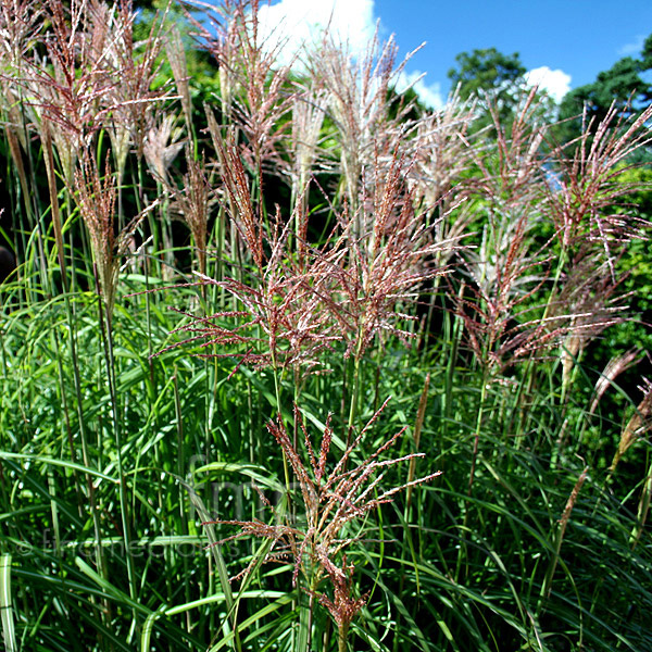 miscanthus sinensis 39 malepartus 39 miscanthus. Black Bedroom Furniture Sets. Home Design Ideas