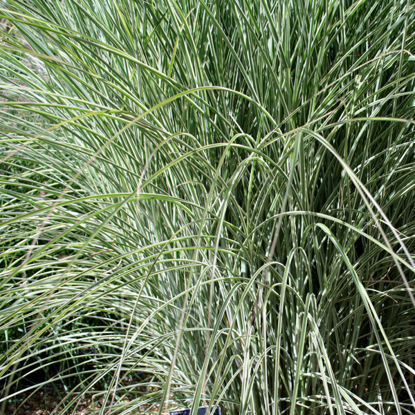 Big Photo of Miscanthus  Sinensis